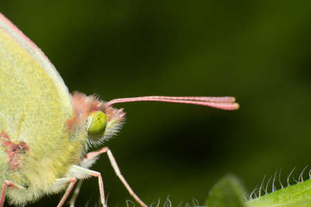 Close-up butterfly long tentacles Stock Photo - 17302619