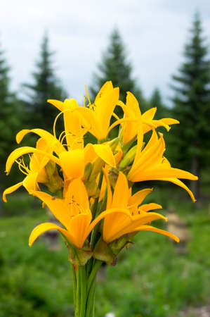 A bouquet of blooming day lily flowers photo