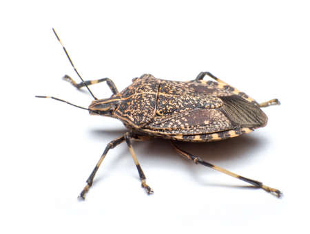 Close-up the stinkbug isolated in white background Stock Photo - 17502343