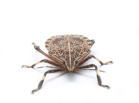 Close-up from the stinkbug head. Stock Photo - 17502334