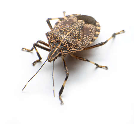 Close-up the stinkbug isolated in white background Stock Photo