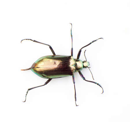 ground beetle: Ground beetle isolated on a white background Stock Photo