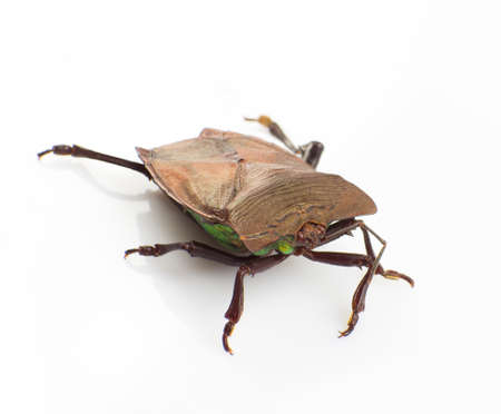 The stink bug isolated on white background Stock Photo - 17592504