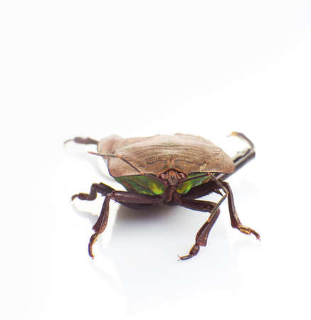 The stink bug isolated on white background Stock Photo - 17592368