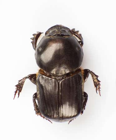 scarabaeidae: Dung beetle isolated on white background Stock Photo