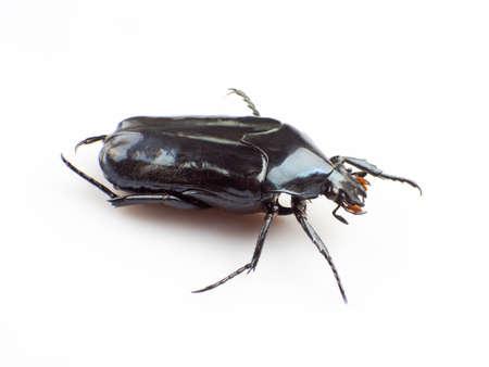 scarabaeidae: The scarab isolated on white background