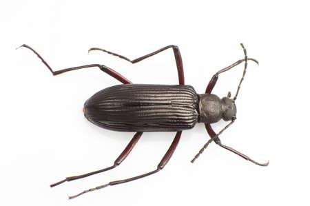 carabidae: The Carabidae isolated white background