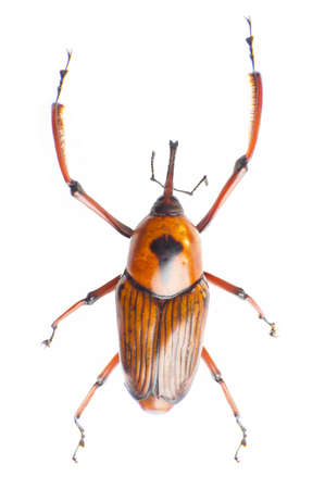 snout: The snout beetle isolated on a white background