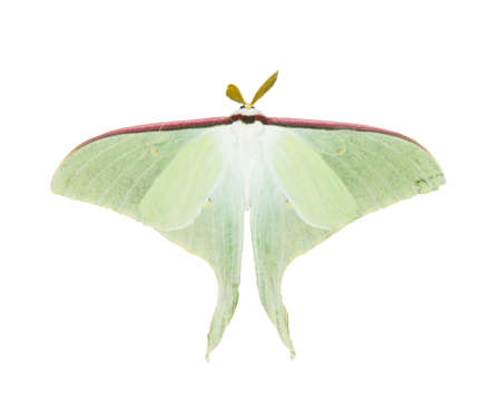 hardwoods: Luna Moth isolated on a white background