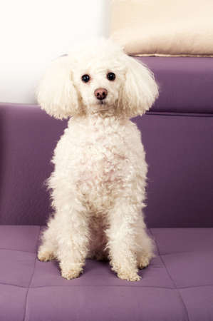 White Toy Poodle sits on the sofa