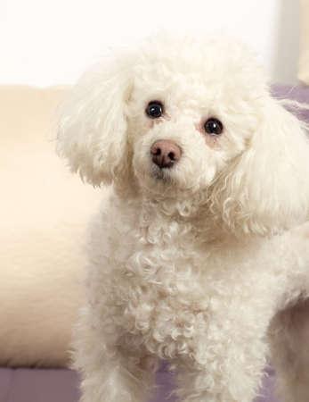 miniature breed: Blanco Toy Poodle cabeza close-up Foto de archivo