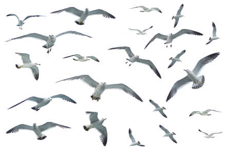 Various postures of seagulls flying, isolated on white background Stock Photo
