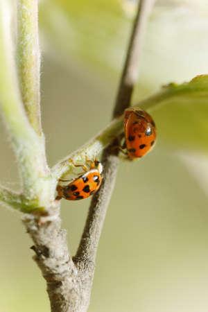 Two ladybird photo