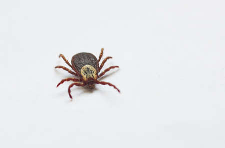 The tick crawls on a white background