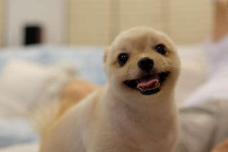 perros graciosos: Pomerania sonriente, tan lindo y adorable