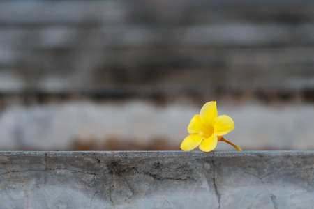 dropped: A yellow flower dropped on concrete ground Stock Photo