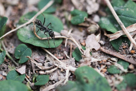 ant leaf: Black ant running on the forest ground