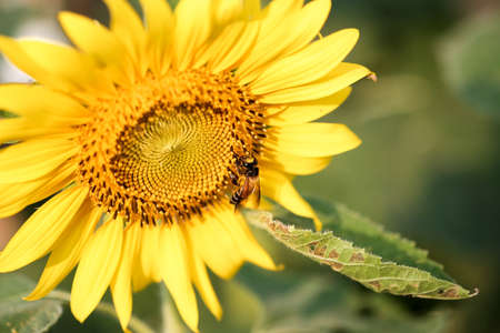 consuming: Bee sucking pollen from a sunflower on sunny day Stock Photo