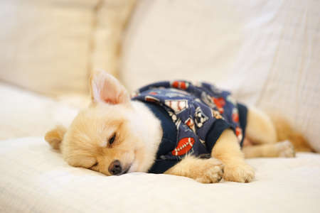 blue and white: Sleepy pomeranian wearing dog t-shirt napping on the sofa Stock Photo