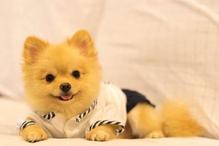 grooming: Cute pomeranian dog wearing student shirt, smiling on the sofa with copy space Stock Photo