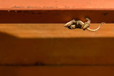 Two Geckos mating on the roof, with copy space