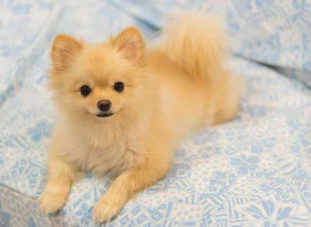 grooming: Cute pomeranian dog smiling on the sofa