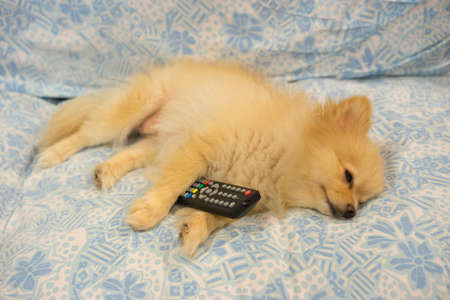 fell: Cute dog fell asleep because TV is boring Stock Photo