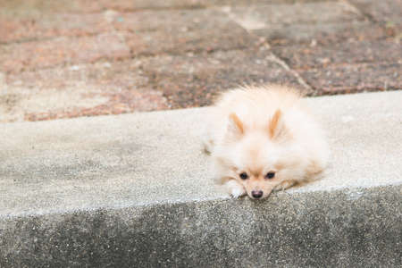 dog waiting: Lonely pomeranian dog waiting for owner to come back