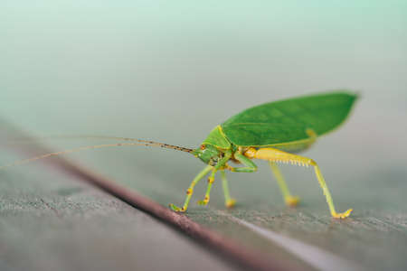 longhorned: Green bush cricket or long-horned grasshopper licking legs on wooden floor, blur bokeh background with copy space