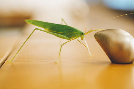 longhorned: Green bush cricket or long-horned grasshopper catching on the drawers knob