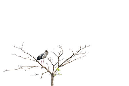 anastomus: Asian openbill stork bird perched on a tree, isolated on white background with copy space Stock Photo