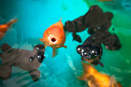 lionhead: Ranchu and Celestial eye gold fishes breathing on fish tanks surface, focus on the orange Ranchu