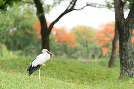 oscitans: Asian openbill stork bird standing alone in green forest