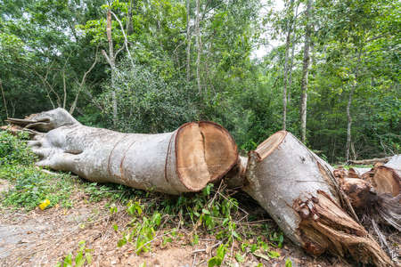 environmental issue: Big tree cut down in the forest, deforestation or global warming concept, environmental issue