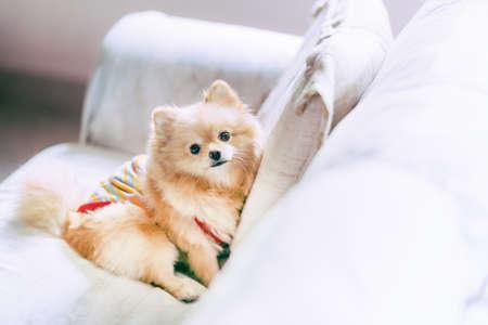 Leuke pomeranianhond die op bank, gelukkig huisdierenconcept, met exemplaarruimte rusten