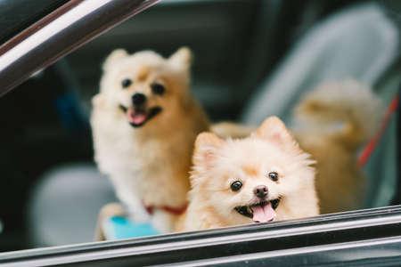 笑顔の車、旅行や遠出のために行く 2 つのかわいいポメラニアン犬。ペットの生活と家族の概念