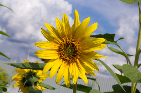 beautiful bright sunflower close-up against blue sky with white Cumulus clouds Stock Photo