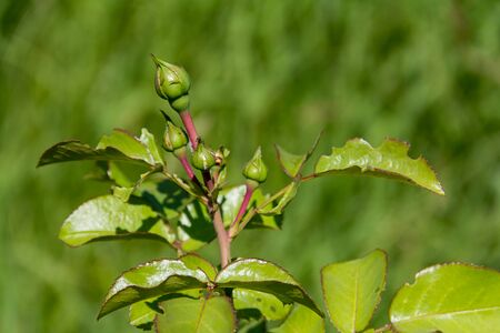 globule: Rose bud unopened green natural background flooded with sunlight Stock Photo