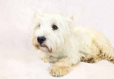 West Highland White Terrier lies looking at white background close-up