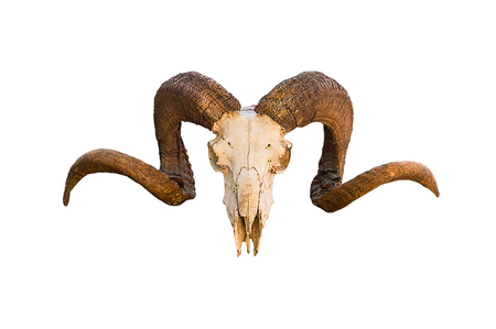 Natural skull of ram with curved horns on white isolated background Stock Photo