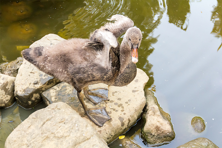 cygnet: young black swan stands on a rock in the middle of the water is heated to be dried