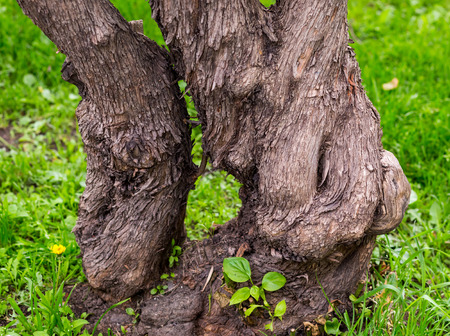 magical old branchy bent tree with a brown bark on a background of green grass