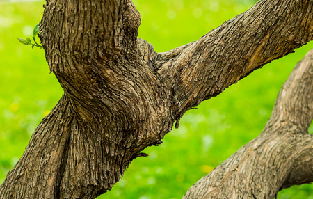 Old fantastic twisting tree trunk with a brown bark spiral Stock Photo