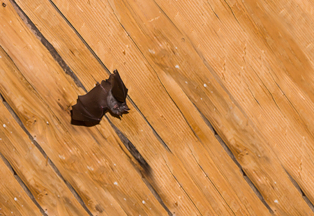 Black small bat with straightened leather wings against the background of a wooden surface