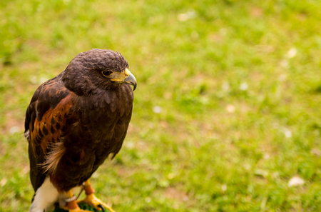 profile: portrait  wild falcon bird watching a traditional animal hunter on a green field background
