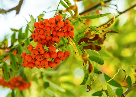 big bunch of mountain ash orange small berry close-up on a background of green leaves