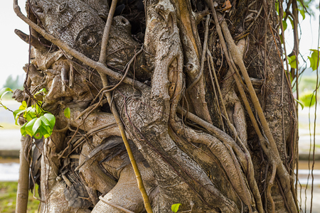 dry ivy twists around a broad tree trunk with green leaves close-up Stock Photo