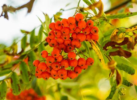 branch of many bright rowan berries close-up symbol of autumn Stock Photo