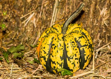 miniature pumpkin yellow green in speckles close-up autumn harvest symbol