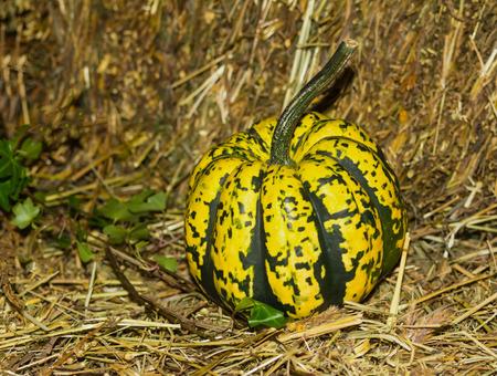 pumpkin mini yellow green on the background of hay symbol of autumn harvest Stock Photo